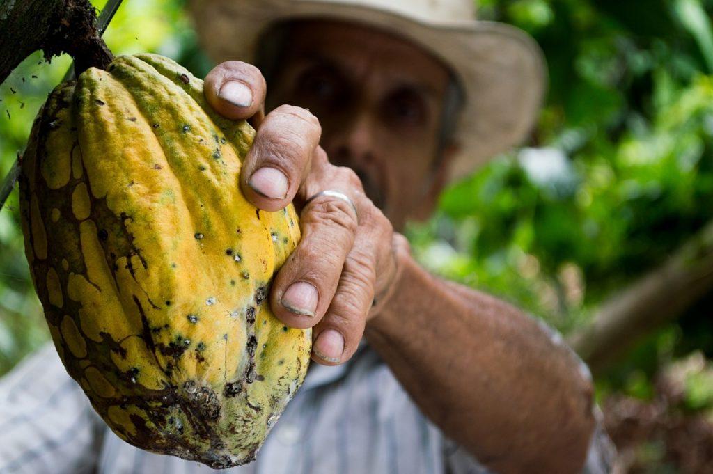 agricultor recolectando cacao